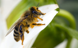 Orange honeybee Stock Photos
