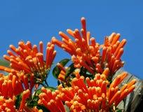 Orange Honeysuckle (Lonicera ciliosa) Royalty Free Stock Image