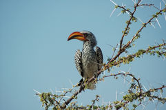Orange hornbill #2. Orange Hornbill in Etosha, Namibie Stock Image
