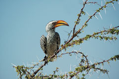 Orange hornbill. In Etosha, Namibie Royalty Free Stock Images