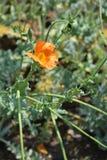 Orange horned poppy royalty free stock photos