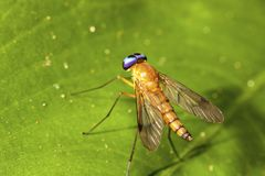 Orange horsefly. Colorful orange horsefly rest on leaf Stock Image