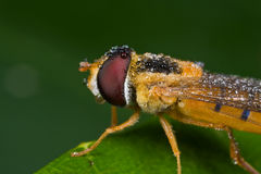 An orange hover fly with dewdrops Stock Photo