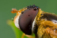 An orange hover fly with dewdrops Royalty Free Stock Image