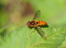 Orange hoverfly on green leaf Stock Photography