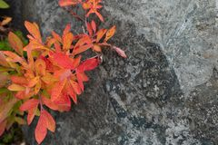 Orange Huckleberry Leaves Contrast Against Gray Rock. With copy space stock photo