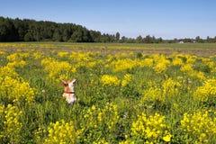 Orange hund på äng med gul kryddkrasse på en klar solig dag Arkivfoton