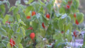 Orange husk tomato plants covered with hoar frost. Focus out. 4K stock footage