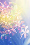 Orange Hybrid Vanda orchid , Fah Mui Stock Images