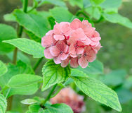 Orange hydrangea, hortensia flower, green plant bush, close up Stock Photos