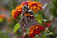 Orange Hydrangea mit gemalter Dame Butterfly Lizenzfreie Stockfotos