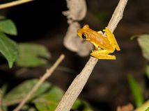 An orange hyla frog about to jump Royalty Free Stock Image