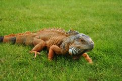 Orange iguana. Lying on a green grass stock image