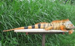 An orange iguana Royalty Free Stock Images