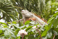Orange iguana Stock Photo