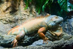 Orange iguana Stock Images