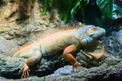 Orange iguana. Big orange iguana in the zoo Stock Images