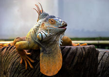 Orange Iguana. Dominant Iguana basking on bark in captivity Stock Photography
