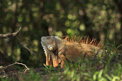 Orange Iguana with Dewlap Royalty Free Stock Photos