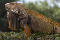 Orange iguana from Florida. Key west , Florida`s orange big iguana Stock Photos