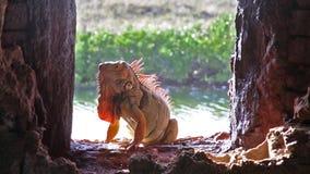 Orange iguana from Florida stock video