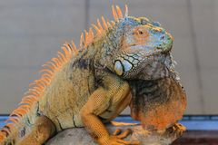 Orange Iguana Royalty Free Stock Photography