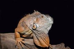 Orange iguana Stock Images