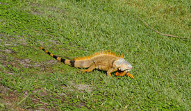 Orange iguana with a pink tongue. Sticking it's pink tongue out an orange iguana walks across a grassy field Stock Photography