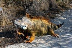 Orange Iguana on the Sand Stock Images