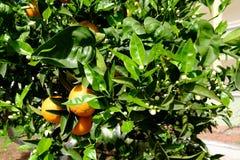 Orange im Baum Stockbild