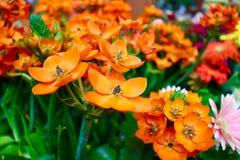 Orange im Frühjahr Stockbild