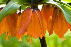 Orange imperial crown. Imperial crown blooming with orange bells in spring Stock Image