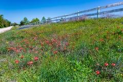Orange Indian Paintbrush Wildflowers in Texas Royalty Free Stock Photo