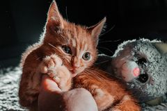 An orange indoor young cat that is on a wool carpet. An orange indoor young playful cat on a wool carpet and is playing with human royalty free stock image
