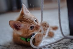 An orange indoor young cat that is on a wool carpet. An orange indoor young playful cat on a wool carpet and is playing with strings royalty free stock photo