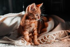 An orange indoor young cat that is on a wool carpet. An orange indoor young playful cat on a wool carpet and a wool blanket royalty free stock photo