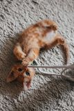An orange indoor young cat that is on a wool carpet. An orange indoor young playful cat on a wool carpet playing with strings and looking at the camera stock photos