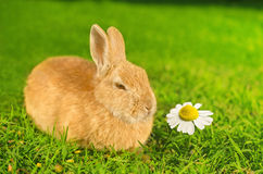 Orange inhemsk kanin som luktar kamomillblomman arkivbild
