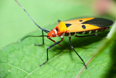 """Orange Insect. Insects (from Latin insectum, a calque of Greek ἔντομον [éntomon], """"cut into sections"""") are a class within the arthropods that have a Stock Image"""