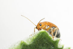 Orange insect feeding nutrient on green leaf. Royalty Free Stock Photo