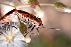 Orange insect Pentatomidae Royalty Free Stock Photography