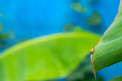 Orange insects on green banana leaves stock photos