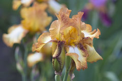 Orange Iris in der Blüte Stockfotos