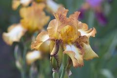 Orange iris i blom Arkivfoton