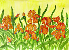 Orange irises Stock Image