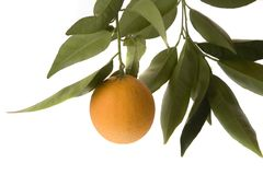 Orange isolated with leaves. Solo orange hanging from tree branch on isolated white background Royalty Free Stock Photography