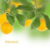 Orange isolated tree. Orange tree with white background Royalty Free Stock Photography