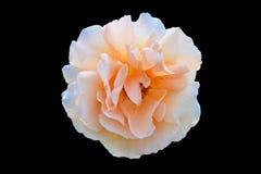Orange isolerad svart bakgrund för rosa färger ros Arkivfoto