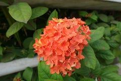 Orange Ixora blomma med det gröna bladet royaltyfri foto