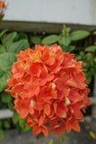 Orange Ixora blomma med det gröna bladet fotografering för bildbyråer
